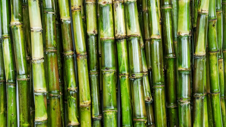 80f71e5a1b5cb Brazilian sugar mills further cut in the first half of August the amount of  cane earmarked for sugar production to one of the lowest levels ever seen  in the ...
